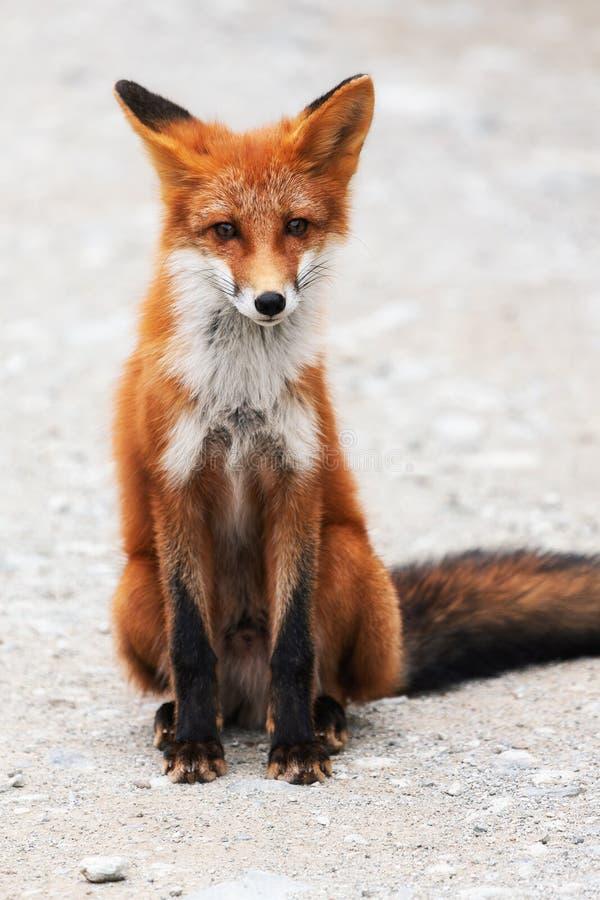 Ritratto della volpe rossa selvaggia sveglia con i bei occhi sleali che si siedono sulle pietre fotografia stock