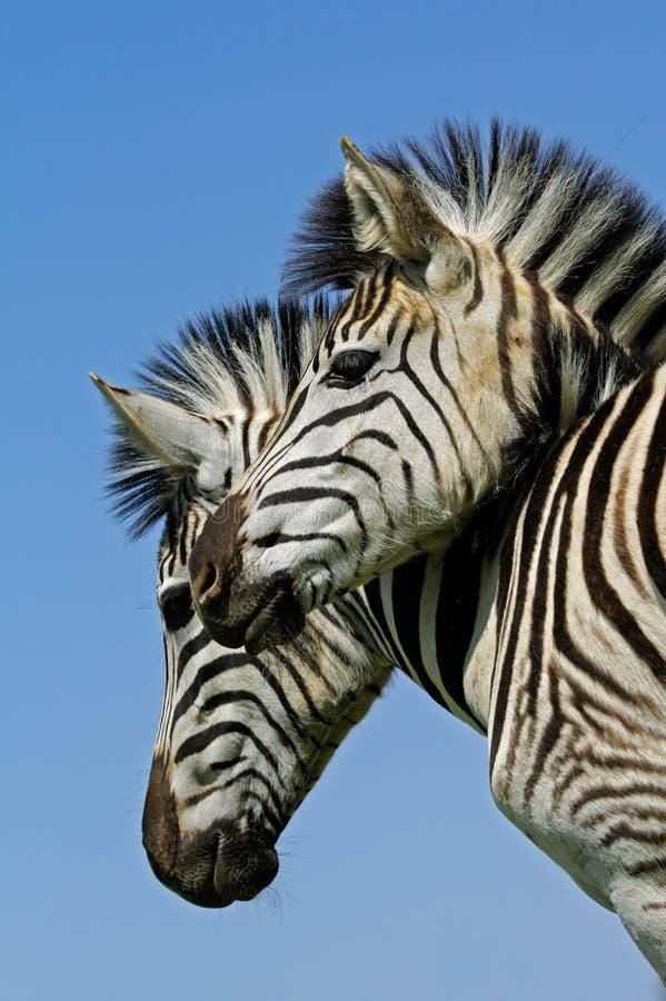 Ritratto della zebra delle pianure immagini stock libere da diritti