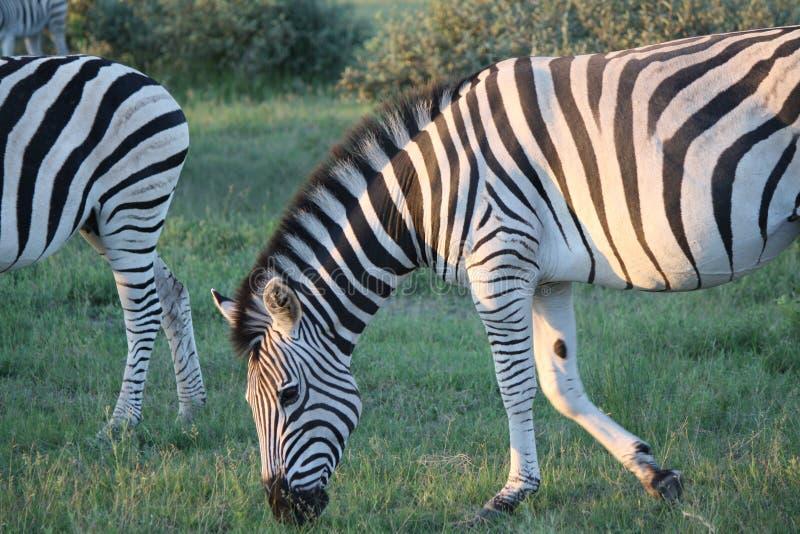 Ritratto della zebra nel Botswana fotografie stock