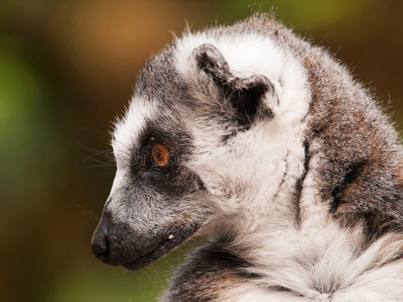 Ritratto delle lemure catta - catta delle lemure fotografia stock