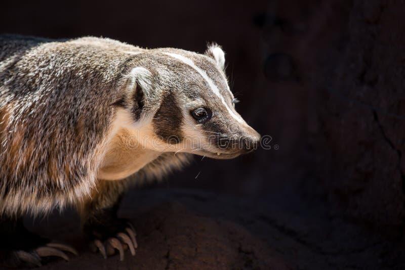 Ritratto delle lemure catta con fondo nero fotografia stock libera da diritti