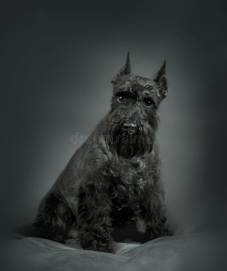 Ritratto dello schnauzer miniatura sul nero fotografia stock libera da diritti