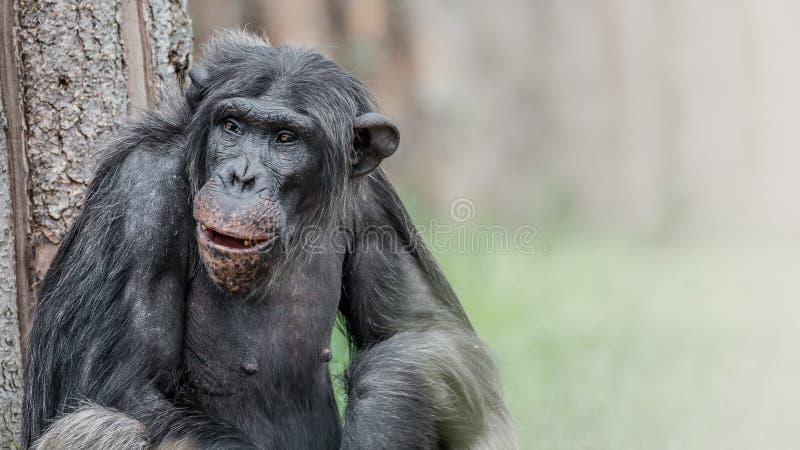 Ritratto dello scimpanzè di risata e sorridente immagine stock