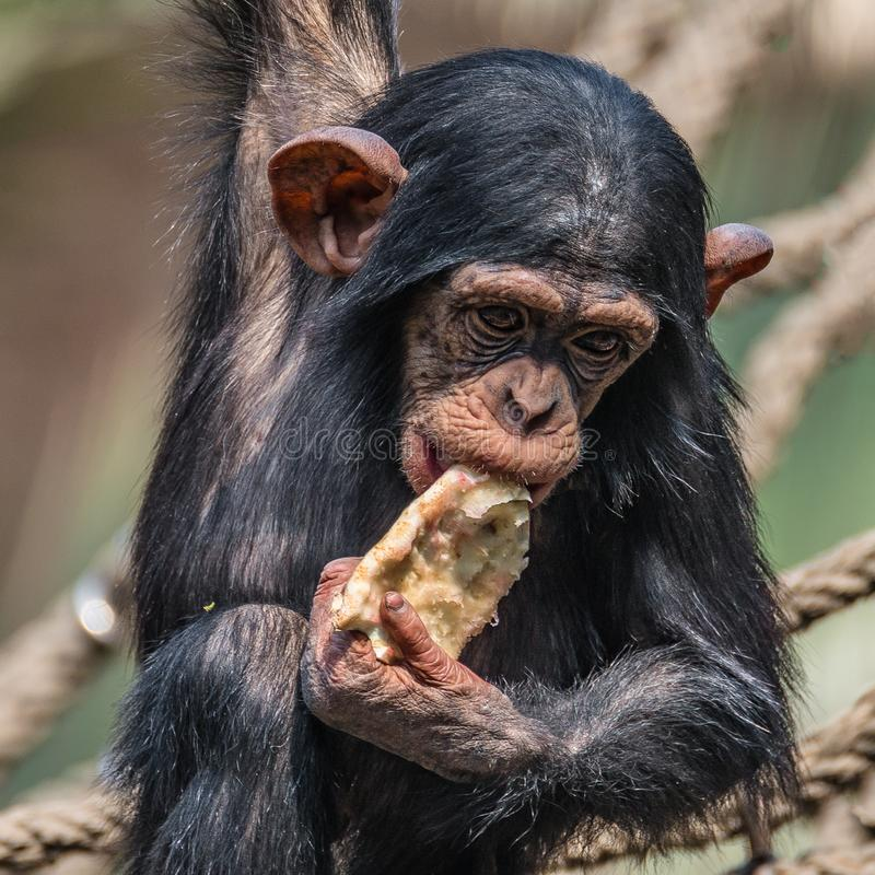 Ritratto dello scimpanzè sveglio del bambino che gioca con l'alimento fotografia stock libera da diritti
