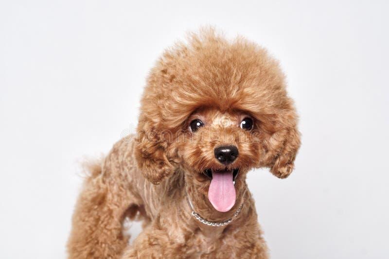 Ritratto dello studio del cucciolo del barboncino fotografie stock