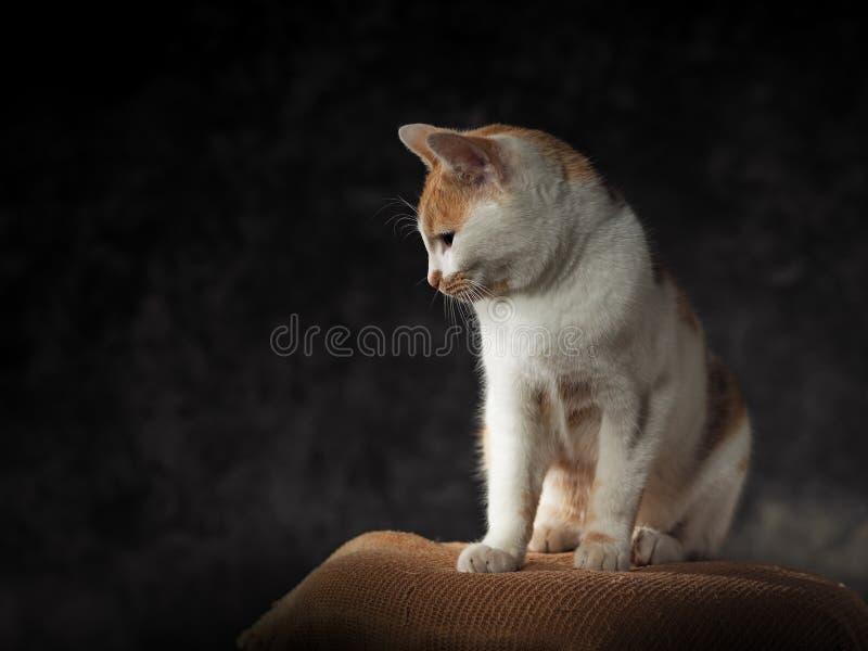 Ritratto dello studio del gatto di domesti fotografia stock