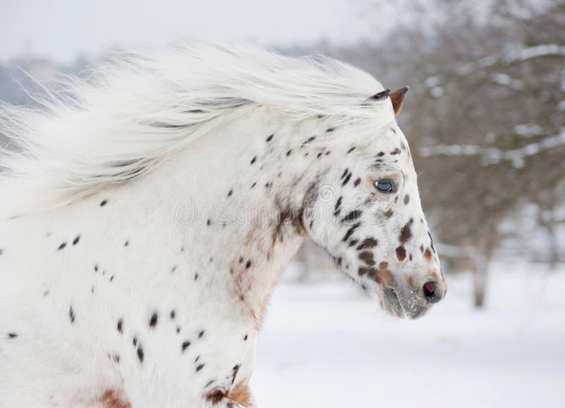 Ritratto di appaloosa del cavallino fotografie stock libere da diritti