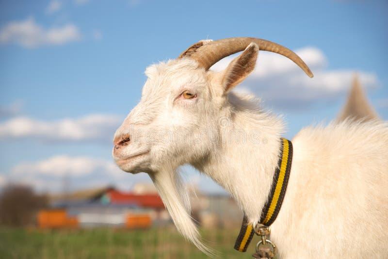 Ritratto di bella capra bianca con i corni, cielo blu con le nuvole fotografia stock libera da diritti