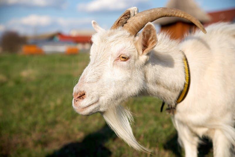 Ritratto di bella capra bianca con i corni, cielo blu con le nuvole Bestiame su una passeggiata in un collare immagini stock libere da diritti