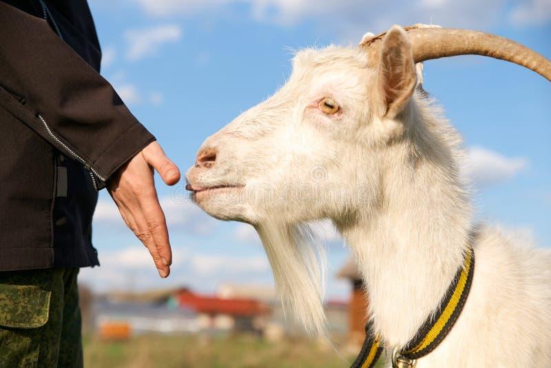 Ritratto di bella capra bianca con i corni, cielo blu con le nuvole Bestiame su una passeggiata in un collare fotografie stock