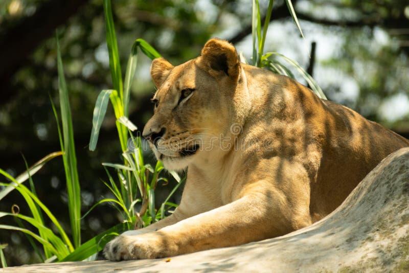 Ritratto di bella e leonessa potente fotografie stock