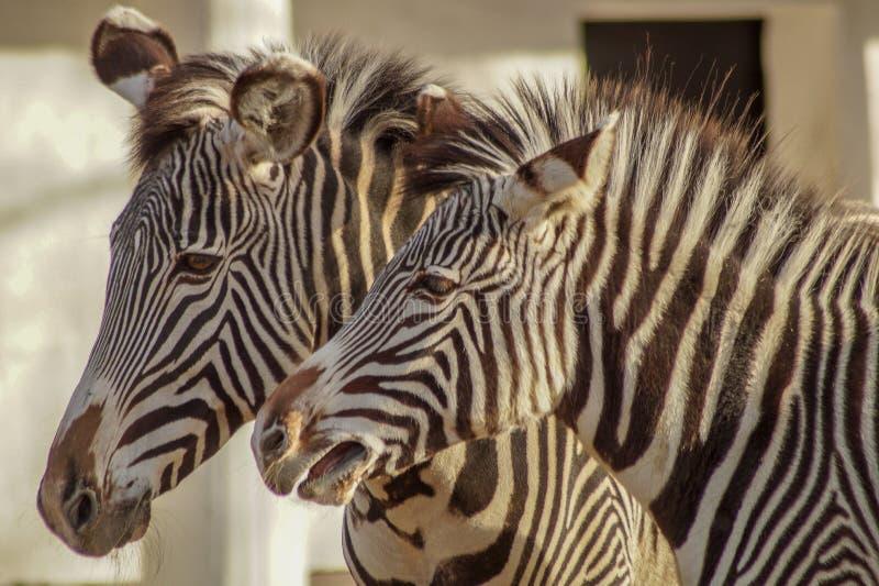 Ritratto di bella zebra fotografie stock libere da diritti