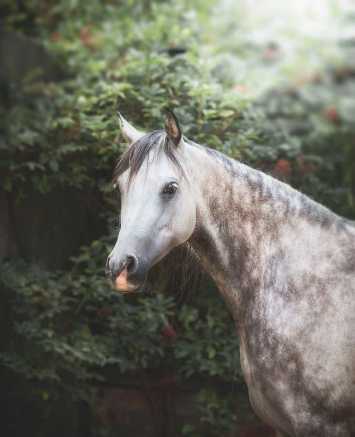 Ritratto di bello cavallo arabo grigio immagine stock libera da diritti