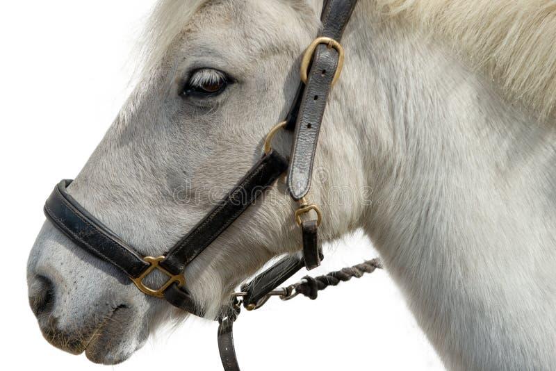 Ritratto di bello cavallo bianco su fondo bianco fotografie stock
