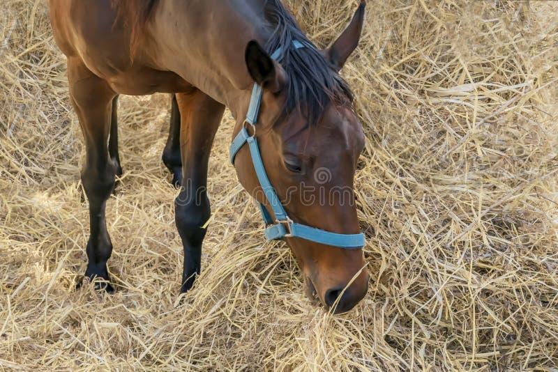 Ritratto di bello cavallo marrone crescente in cablaggio che mangia fieno Alimentazione dei cavalli da equitazione immagine stock libera da diritti