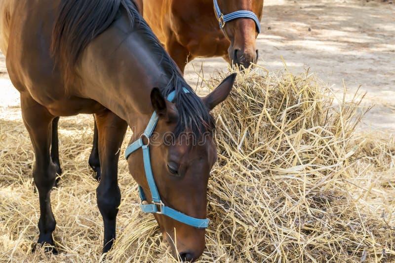 Ritratto di bello cavallo marrone crescente che mangia fieno Alimentazione dei cavalli da equitazione all'aperto fotografia stock libera da diritti