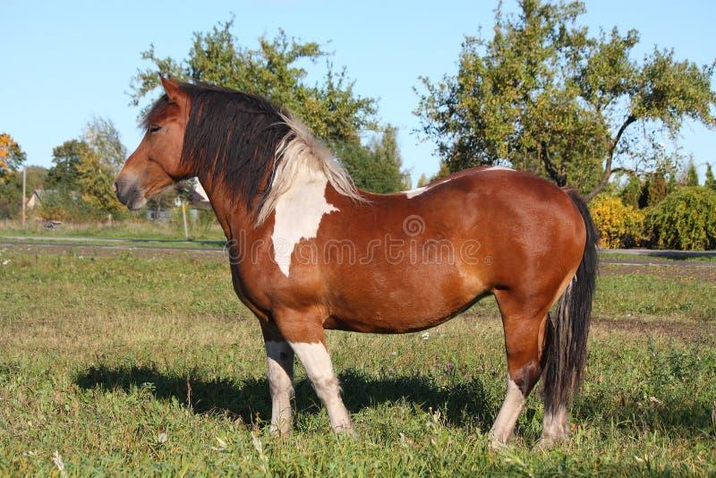Ritratto di bello cavallo pezzato immagine stock