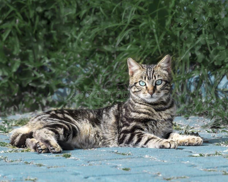 Ritratto di bello gattino lanuginoso a strisce grigio con gli occhi azzurri, trovantesi contro un cespuglio verde e esaminante la fotografia stock