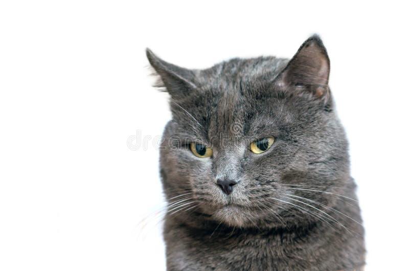 Ritratto di bello gatto grigio isolato su fondo bianco immagine stock
