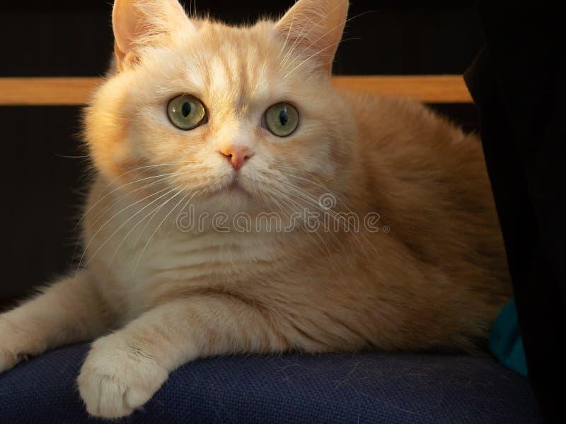 Ritratto di bello gatto di soriano crema con gli occhi verdi che si siedono su una sedia alla luce solare immagine stock