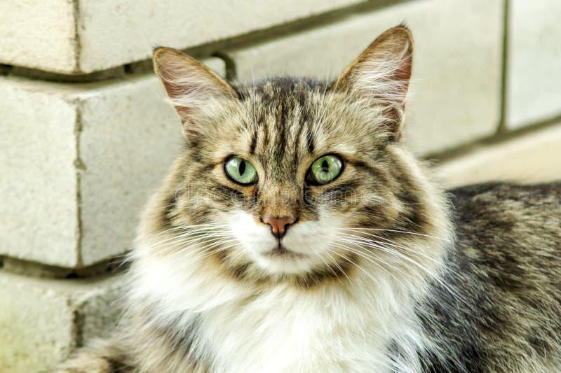 Ritratto di bello gatto di tricromia con gli occhi verdi e la pelliccia lunga che vi guarda e che aspetta carezza fine morbido immagine stock libera da diritti