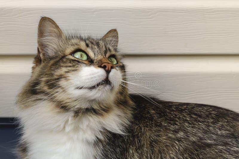 Ritratto di bello gatto di tricromia con gli occhi verdi e la pelliccia lunga che vi guarda e che aspetta carezza Il gatto cerca  fotografia stock