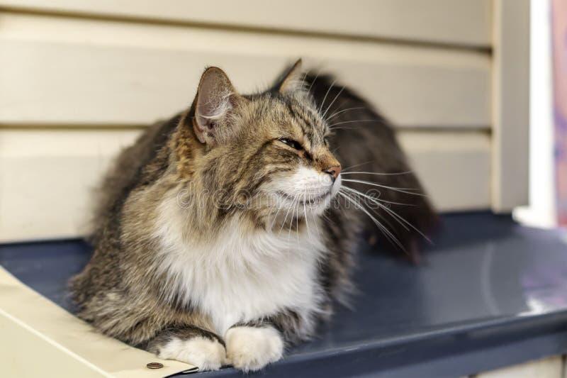 Ritratto di bello gatto di tricromia con gli occhi verdi e la pelliccia lunga Il gatto si trova e vago esamina la distanza E fotografia stock libera da diritti