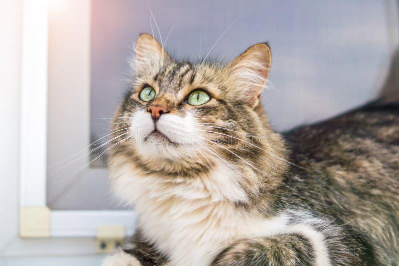 Ritratto di bello gatto di tricromia con gli occhi verdi Il gatto cerca, ha un umore allegro immagine stock libera da diritti