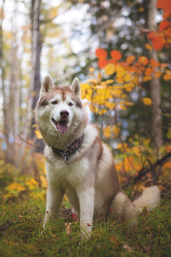 Ritratto di bello husky siberiano della razza beige e bianca del cane che si siede nella stagione di caduta su un fondo luminoso  fotografia stock