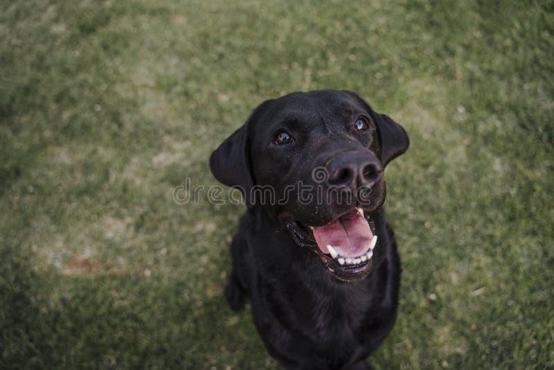 Ritratto di bello labrador nero che si siede sull'erba in un parco e che esamina la macchina fotografica Divertimento all'aperto  fotografia stock libera da diritti