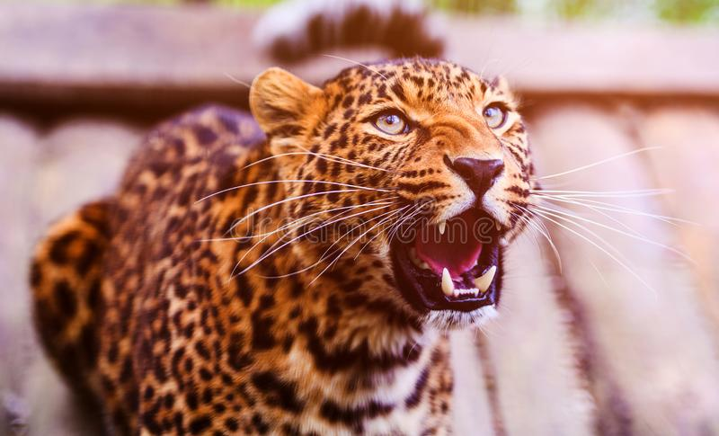 Ritratto di bello leopardo Leopardo arrabbiato fotografie stock