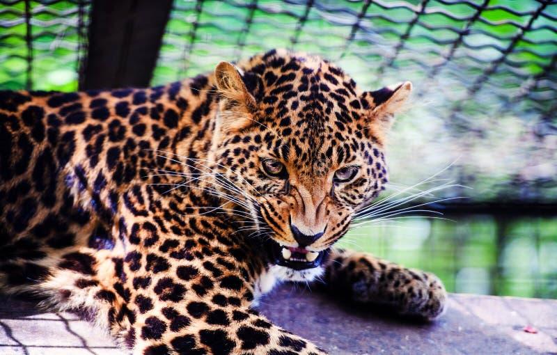 Ritratto di bello leopardo Leopardo arrabbiato immagine stock