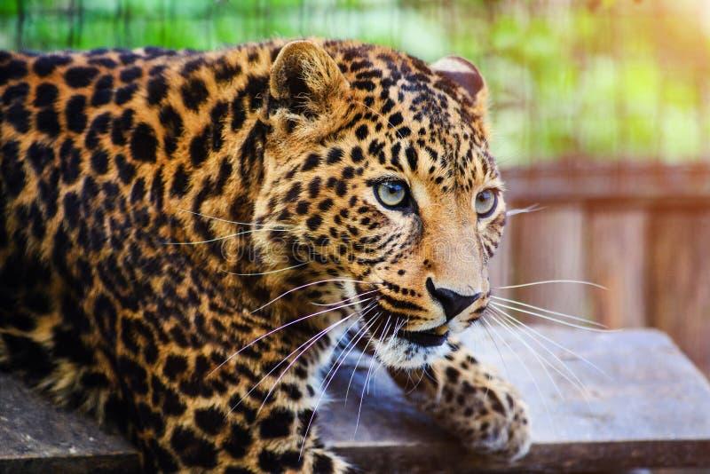 Ritratto di bello leopardo fotografie stock libere da diritti