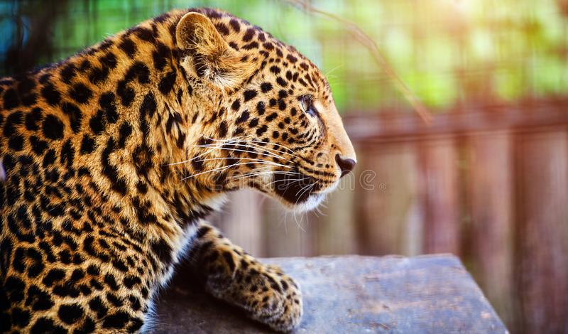 Ritratto di bello leopardo fotografia stock libera da diritti