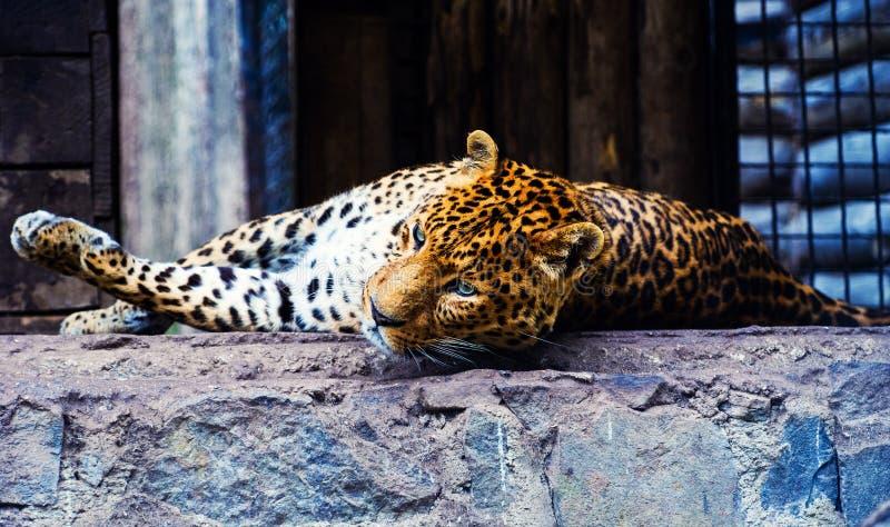 Ritratto di bello leopardo immagine stock