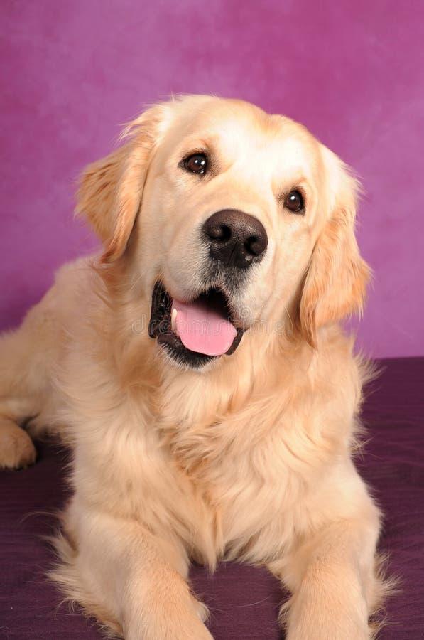 Ritratto di cane Golden Retriever immagini stock libere da diritti
