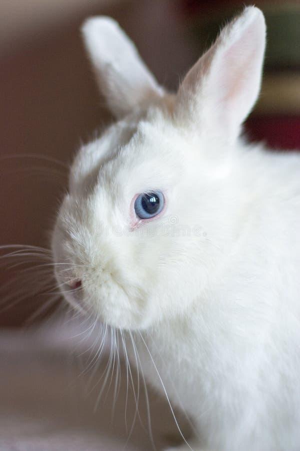 Ritratto di coniglio bianco con gli occhi azzurri immagini stock libere da diritti