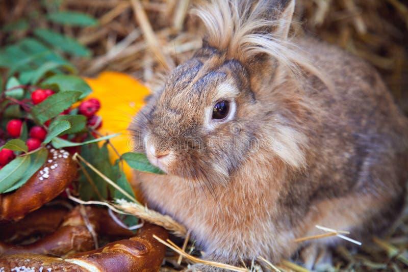 Ritratto di coniglio marrone con l'alimento di autunno immagine stock libera da diritti