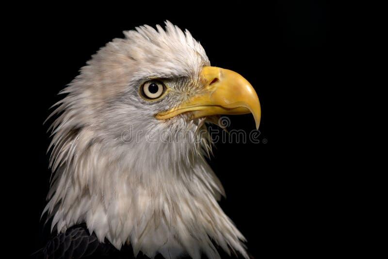 Eagle Portrait fotografie stock libere da diritti