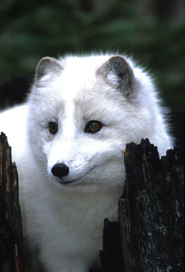 Ritratto di Fox artico fotografia stock libera da diritti