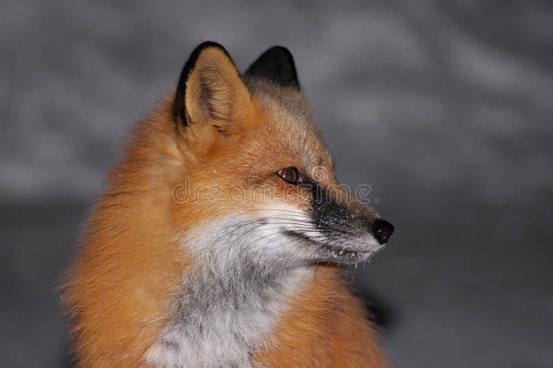 Ritratto di Fox rosso fotografie stock libere da diritti