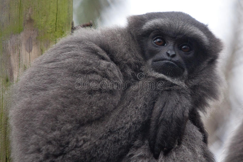 Ritratto di Gibbon fotografie stock libere da diritti