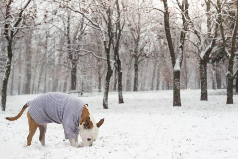 Ritratto di gioia di inverno del cane immagini stock
