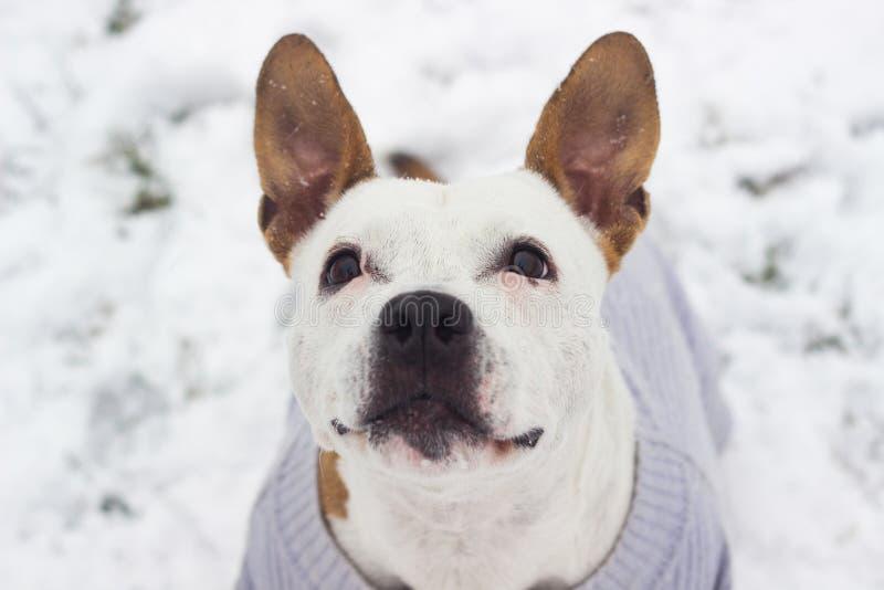 Ritratto di gioia di inverno del cane fotografia stock libera da diritti