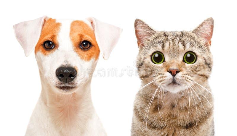 Ritratto di giovane cane sveglio Jack Russell Terrier e di diritto scozzese del gatto immagini stock libere da diritti