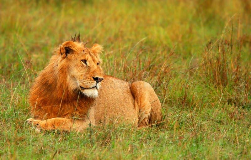 Ritratto di giovane leone africano selvaggio fotografia stock