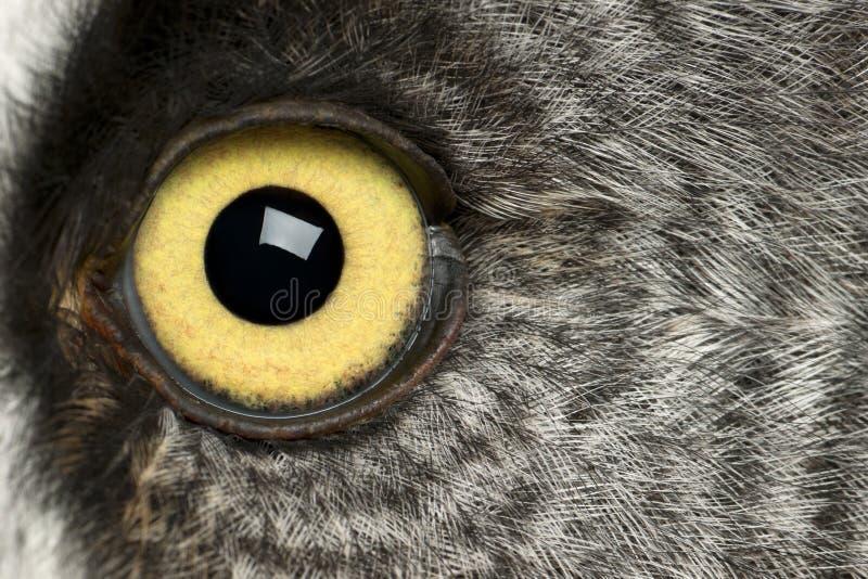 Ritratto di grande Grey Owl o gufo della Lapponia, nebulosa dello strige, un gufo molto grande immagine stock