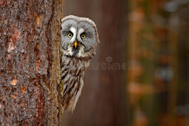 Ritratto di grande gufo grigio, nebulosa dello strige, nascosto dietro il tronco di albero nella foresta di inverno, con gli occh immagini stock libere da diritti