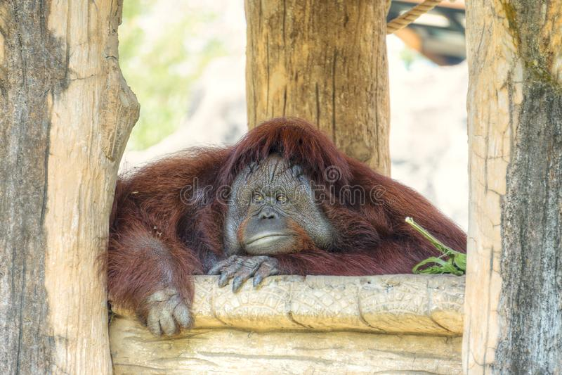 Ritratto di grande orangutan sveglio che guarda alla macchina fotografica ed all'alesaggio La scimmia rossa marrone selvaggia, or immagine stock