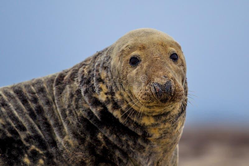 Ritratto di Grey Seal fotografie stock libere da diritti